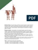 pozitia anatomica
