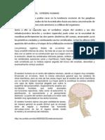 Evolucion Del Cerebro Humano