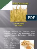 Gandum (Triticum spp).pptx