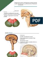 Tema 8 de Anatomia