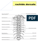 rachide dorsale
