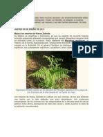 Helecho (Pteridium aquilinum)