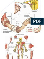 muscles of fore limb