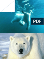 prezentare ursi polari