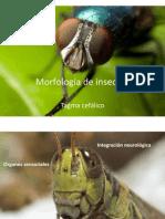 Morfología de insectos cabeza
