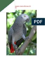ìkóòdíde - ODÍDE papagaio da calda vermelha