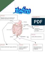 Partes del intestino