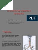 Anatomía de traquea y bronquios