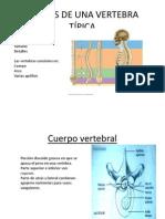 PARTES DE UNA VERTEBRA TÍPICA