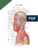 Otot otot wajah