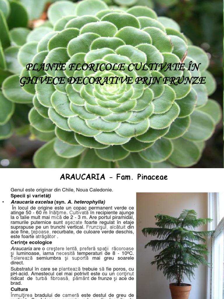 Plante Floricole Cultivate în Ghivece Decorative Prin Frunze