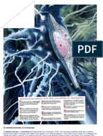 O Corpo Humano-Sistema Nervoso