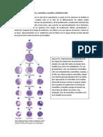 Morfología de los neutrófilos, eosinofilos y basofilos