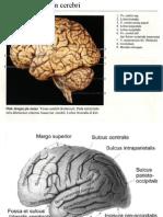 hemispherium Cerebri