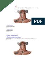 Musculos Sup Cuello