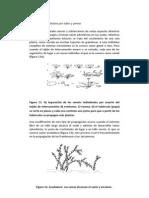Propagación vegetativa por tallos y yemas