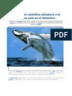 Científicos_estudiarián_a_la_ballena_azul_en_el_Antártico