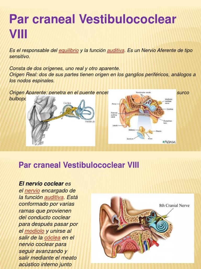 Excepcional Viii Nervio Craneal Inspiración - Imágenes de Anatomía ...