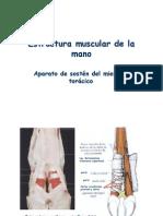 Modulo 2 - Estructura muscular de la mano.pdf