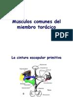 Modulo 2 - Músculos comunes del miembro torácico