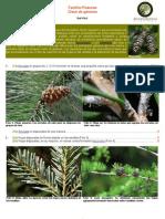 Familia Pinaceae.pdf