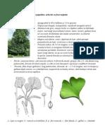 Dendrologie - Gymnosperme
