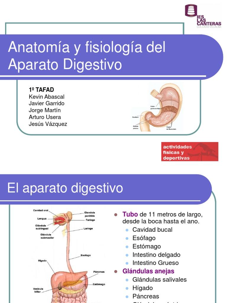 Excelente Anatomía Y Fisiología Del Estómago Imagen - Imágenes de ...