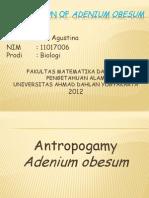 POLINATION of Adenium Obesum