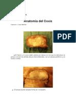 Anatomia Del Coxis