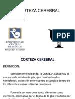 Corteza+Cerebral