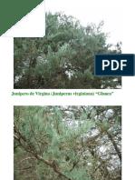 Conifer as 2
