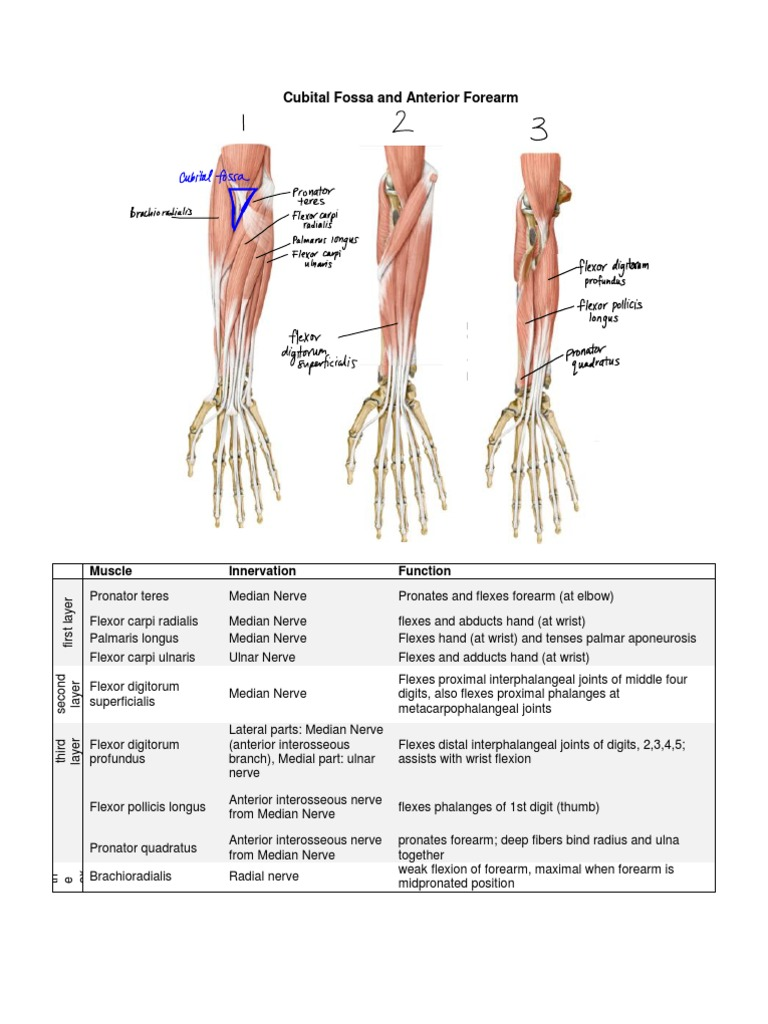 Cubital Fossa and Anterior Forearm