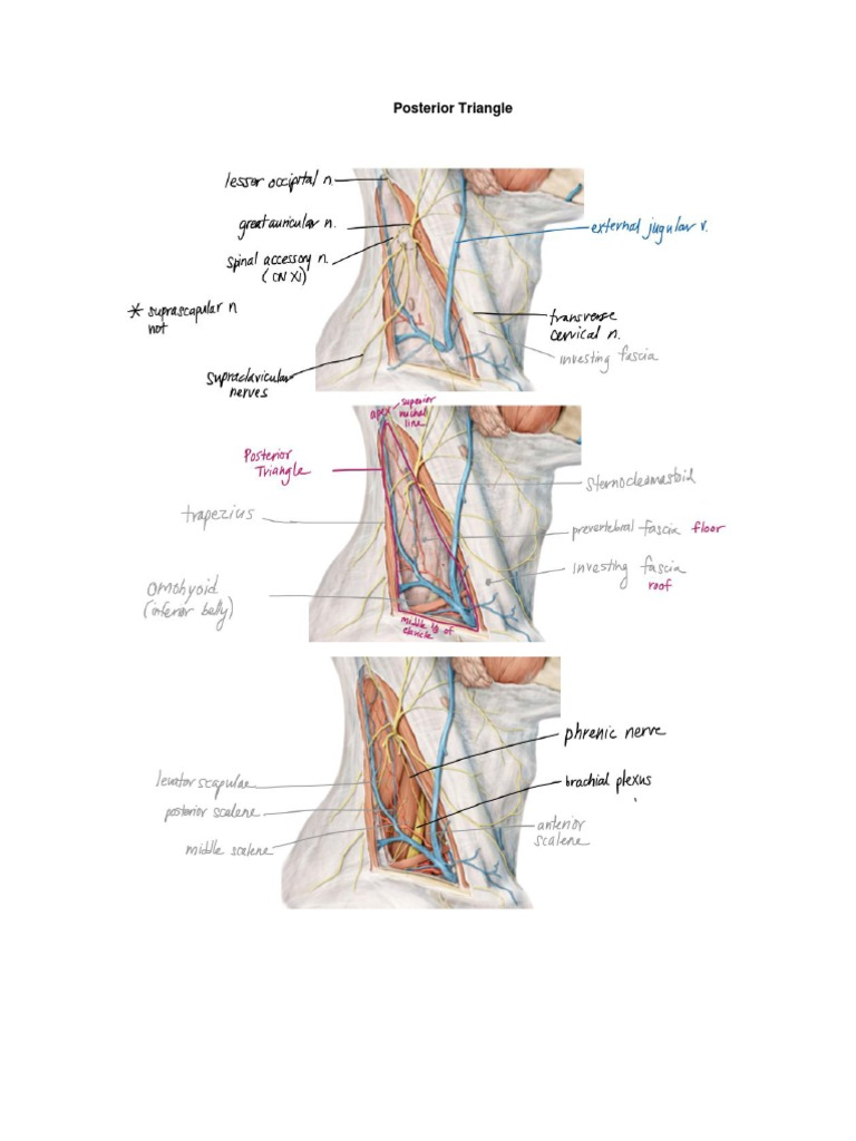 Posterior Triangle   Neck   Common Carotid Artery