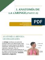 Anatomía de la laringe. Parte II
