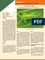 setora_nitens-1.pdf