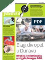 Povratak jesetre u Dunav, Savu i Dravu