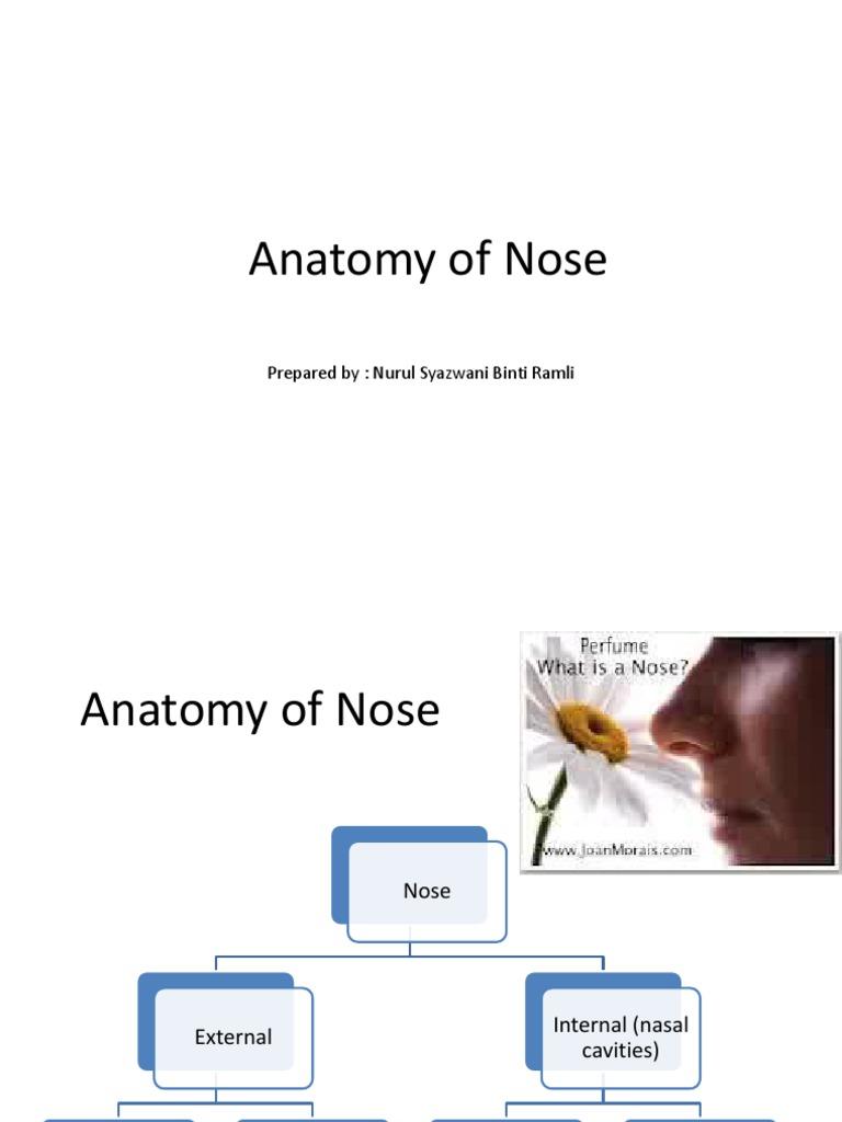 Anatomy of Nose   Human Anatomy   Olfactory System