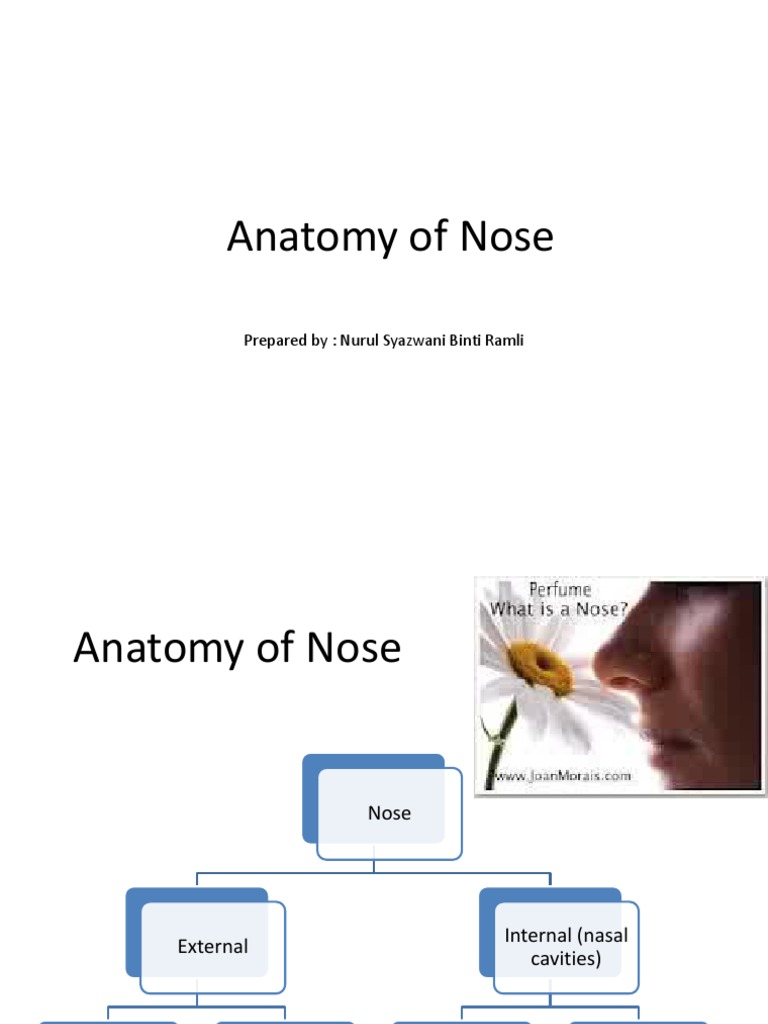 Anatomy Of Nose Human Anatomy Olfactory System