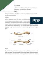 Anatomi Ekstremitas Superior