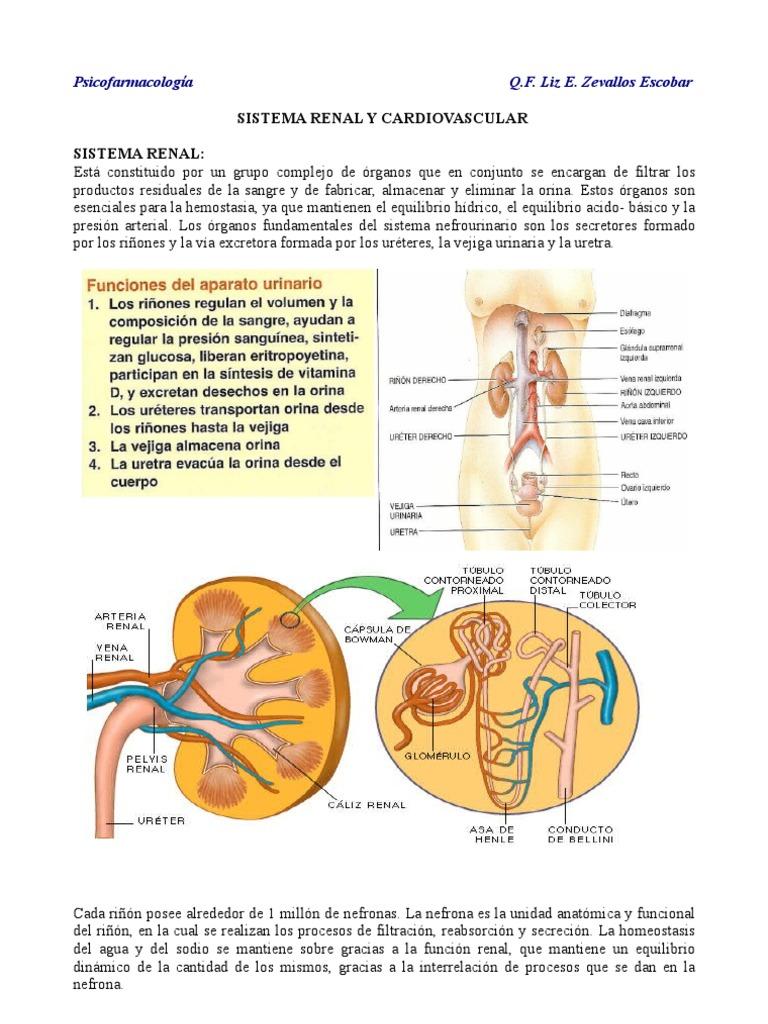 SISTEMA RENAL Y CARDIOVASCULAR.pdf