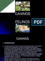 Caninos -Felinos..ppt