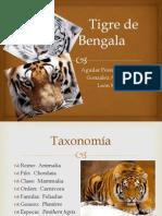 Tigre de Bengala1