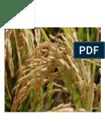 Teknologi penanaman padi.docx