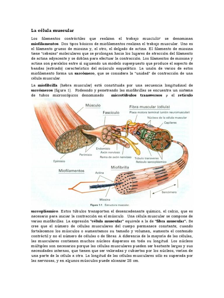 La célula muscular