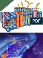 Permeabilidad de La Membrana Celular
