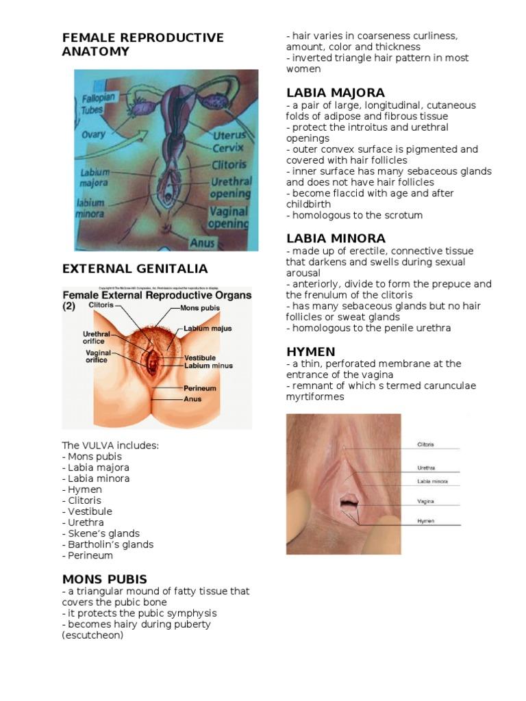 Female Reproductive Anatomyd | Uterus | Labia