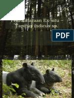 Pemuliharaan Ex-situ – tapirus indicus sp edited