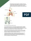 La respiración permite el intercambio de gases entre el organismo y el ambiente