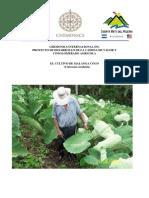 Cultivo de Malanga - Yuca