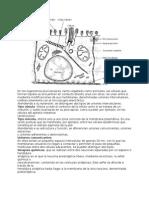 Teórica 5 bis Bio 1 Los tejidosUniones entre células